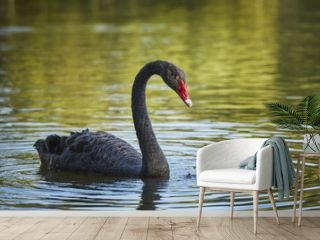 Graceful black swan (Cygnus atratus) male with long S curved neck.