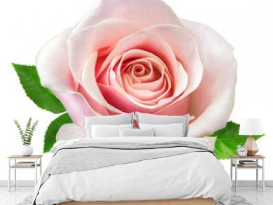 rose isolated on the white