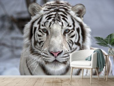 Face to face with white bengal tiger