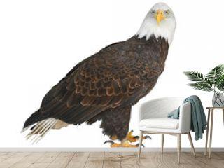 Bald eagle (Haliaeetus leucocephalus) on white background