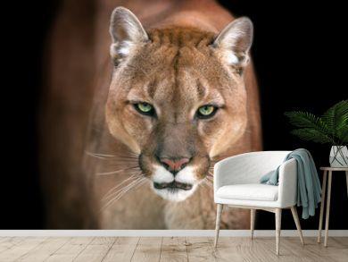 Puma, cougar portrait isolated on black background