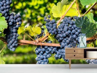 Weintrauben Panorama Hintergrund