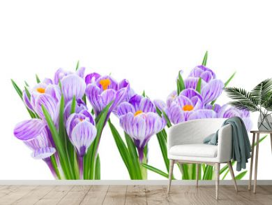 Violet crocus fresh flowers isolated on white background