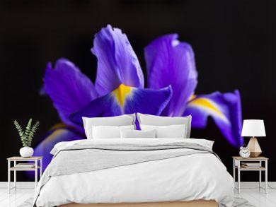 Close-up beautiful iris on black background