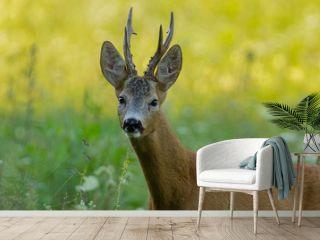 trophy roe deer portrait