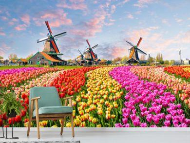 Landscape with tulips in Zaanse Schans, Netherlands, Europe