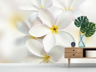 White plumeria flower background