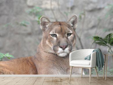 Puma, cougar portrait. Mountain lion close up.