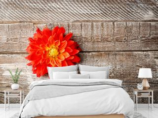 Beautiful red dahlia flower on wooden background