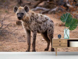 hyena walking in the bush of kruger national park