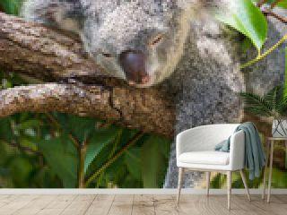 居眠り中のコアラ