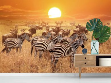 Zebra at sunset in the Serengeti National Park. Africa. Tanzania.