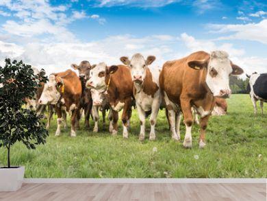 Kuhherde auf einer Weide im Unteralläu - Bayern