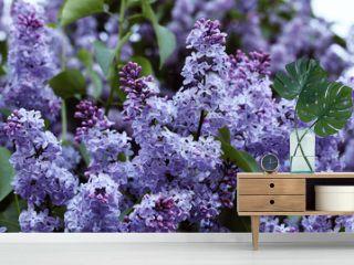 Beautiful blossoming lilacs