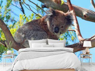Koala Bear in the wild climbing in the eucalyptus woodland trees on Cape Otway in Victoria Australia