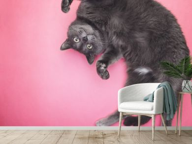 grey funny cat posing on the pink background