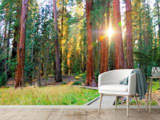 Sunbeams through the giant trees of Sequoia National Park, California, USA