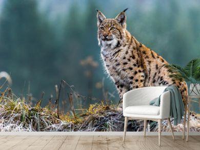 Eurasian lynx, winter, snow