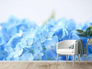 Beautiful blue hydrangea flowers background