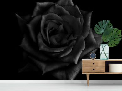 Black rose isolated on black  background