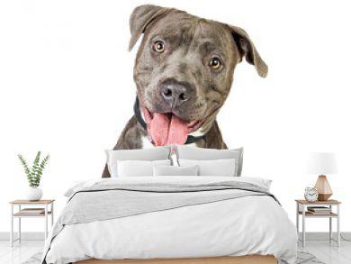 Happy Friendly Smiling Pit Bull Dog