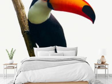 Toucan Toco bird sitting on a branch isolated on white background. Also known as the common toucan or toucan
