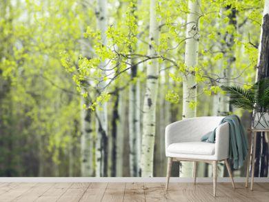 birch forest spring
