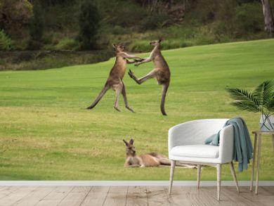 Two male Australian native Kangaroos fighting in grass field behind resting female kangaroo