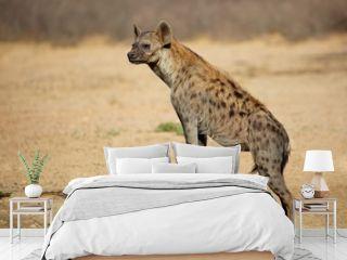 A spotted hyena (Crocuta crocuta) in natural habitat, Kalahari desert, South Africa