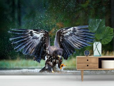 Eagle in fly above the dark lake. White-tailed Eagle, Haliaeetus albicilla, flight above the water river, bird of prey with forest in background, animal in the nature habitat, wildlife, Norway.