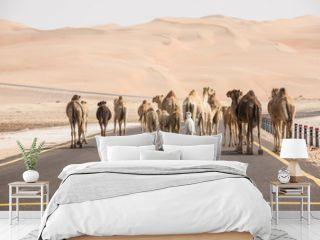 A herd of Arabian camels  - dromedaries walking on the asphalt road. Abu Dhabi, UAE.