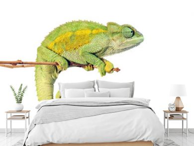 Raues Bergchamäleon (Trioceros rudis) - coarse chameleon