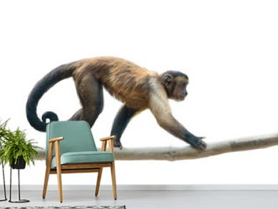 Black-capped capuchin isolated