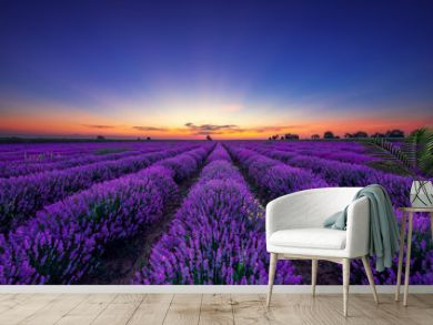 Lavender flower blooming fields in endless rows at sunset