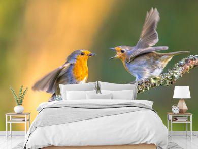 Parent Robin bird feeding young