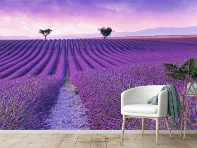 Violet  lavender bushes.Beautiful colors purple lavender fields near Valensole, Provence