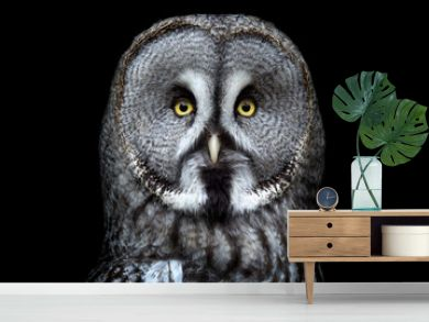 Great grey owl (Strix nebulosa) on black background