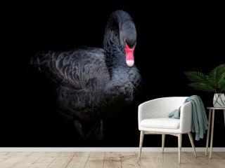 Black swan on black background (Cygnus atratus). Beautiful west australian black swan.