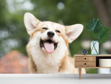 Corgi dog smile and happy in summer sunny day