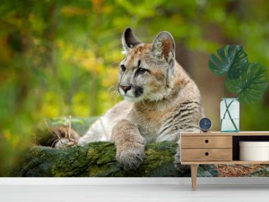 Wild danger animal in green vegetation. Big cat Cougar, Puma concolor, hidden portrait of dangerous animal with stone, USA. Wildlife scene from nature.