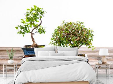 Chinese elm and sagaretie bonsai in blue bowl on wooden board
