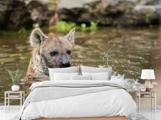 playing hyena in the water