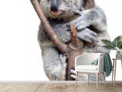 Baby cub Koala isolated on white background