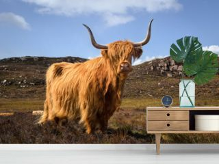 Cow of the highlands, Scottish cow, Scotland Great Britain