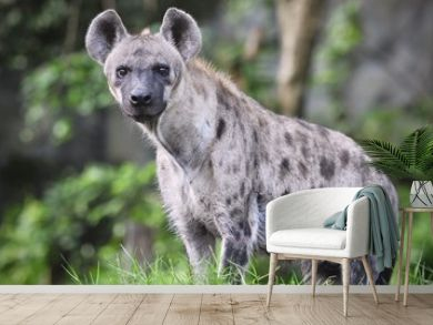 Spotted hyena (Crocuta crocuta), also known as the laughing hyena close up side view animal wildlife.