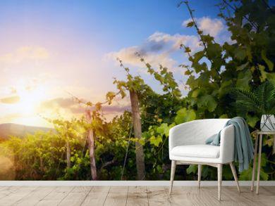 Sunrise over grape Vineyard  summer winery region morning landscape