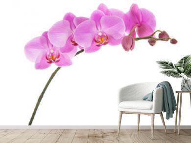 Purple Phalaenopsis orchid flowers isolated on white background.