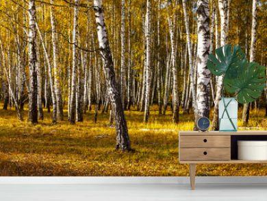 Beautiful autumn birch grove