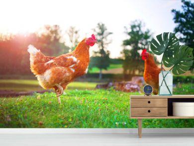 hen, chicken on the farm, livestock bird poultry concept
