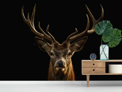 Red deer portrait with black background..